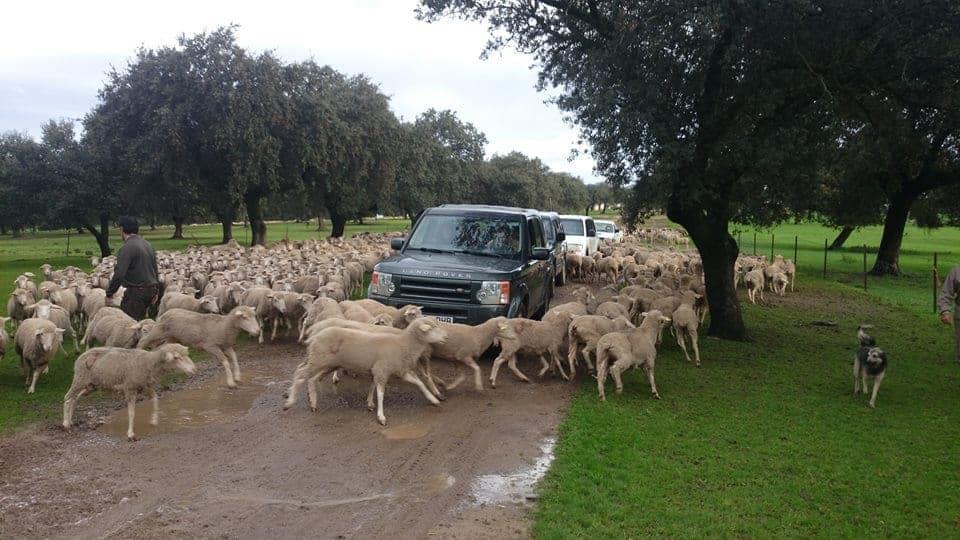 En Dehesa de Solana podrás hacer un safari y ver el ganado en libertad